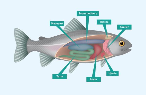 Fisken indeni – et undervisningsmateriale til naturteknologi indskoling