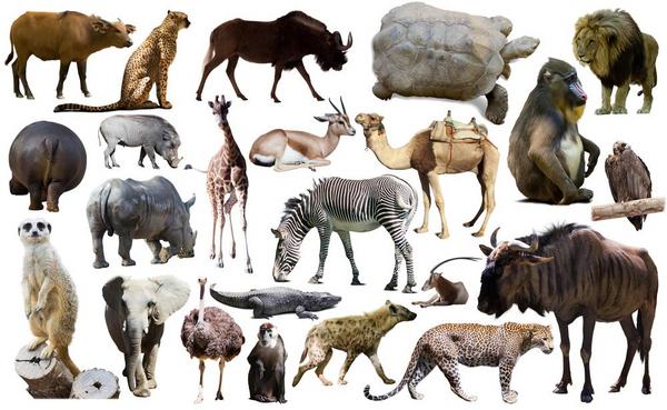 Afrikanske dyr  Iakov Filimonov  shutterstock 436108588