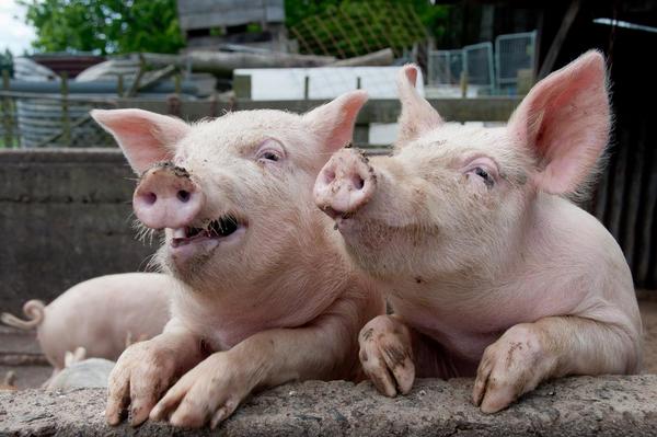 Et stort griseri – et undervisningsmateriale til naturteknologi indskoling