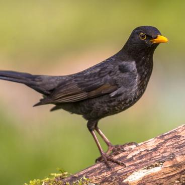 Skovens fugle