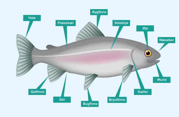 Fisken udenpå – et undervisningsmateriale til naturteknologi indskoling