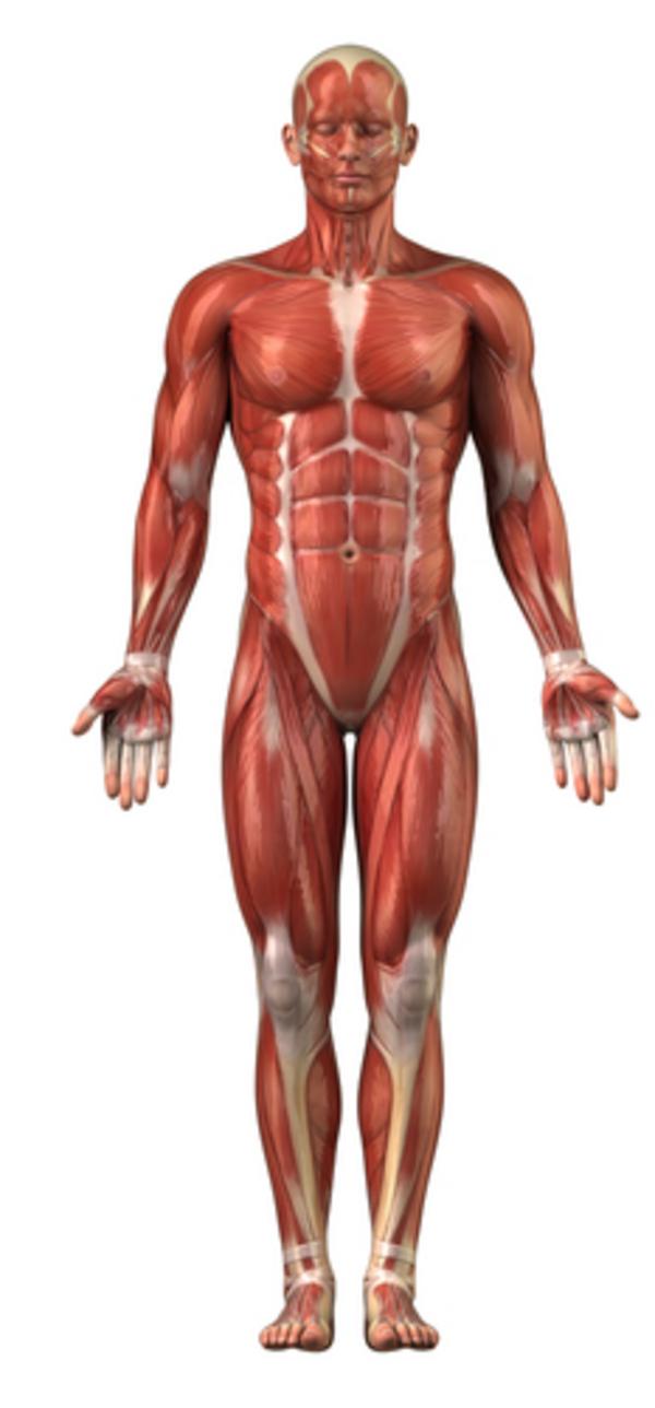 Muskler – et undervisningsmateriale til naturteknologi indskoling