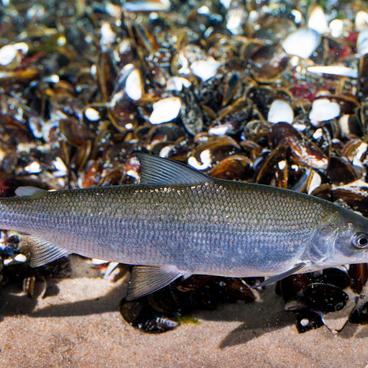 En sjælden fisk