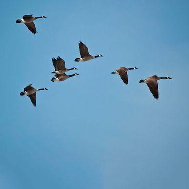 Fugle kan flytte langt