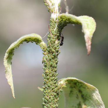 Myrer og deres bladlus